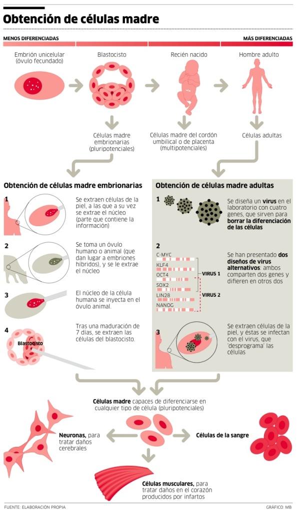 CÉLULAS MADRE son las que puede renovarse a sí mismas a través de mitosis celular y diferenciarse en una amplia gama de tipos de células especializadas.